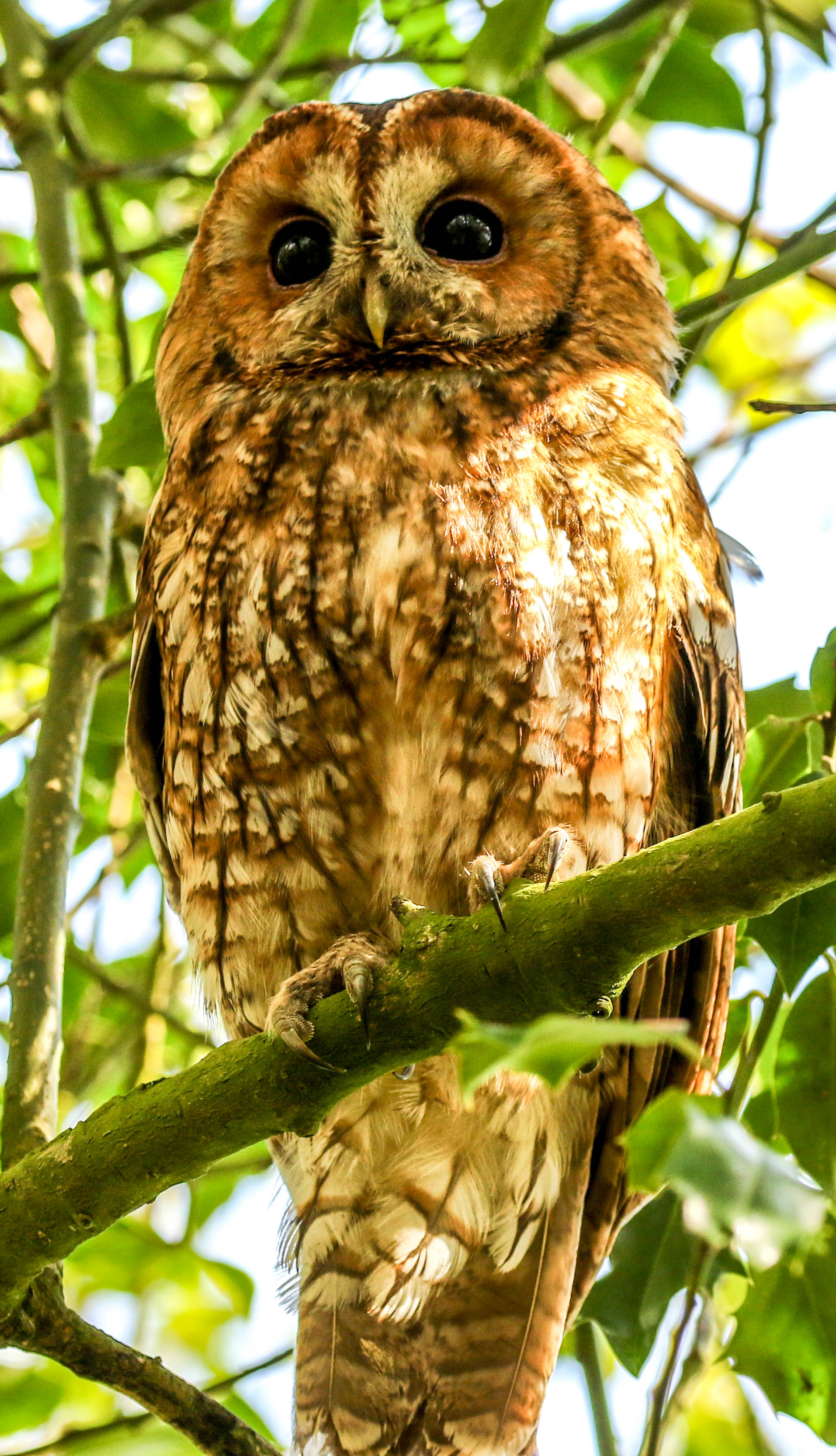 Tawny Owl Goodenbergh Leisure